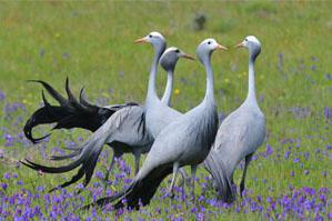 Darling Blue Cranes