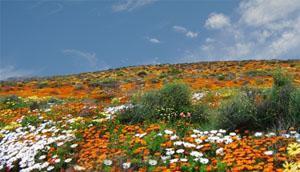 Hopefield, West Coast flowers