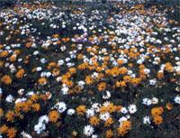 Klawer Flowers