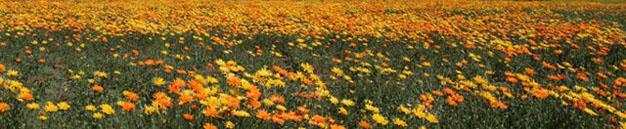 Vredendal Floral Display, West Coast, South Africa