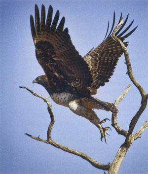 Martial eagle takes off; the north of the park is well-known for its abundant bird life.