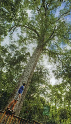 One of several Big Trees, massive Outeniqua yellowwoods which grow close to 50 metres tall.