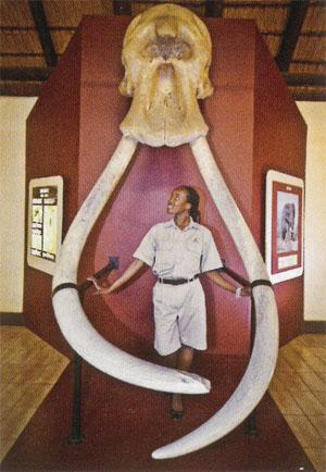 Some of the biggest elephant tusks in southern Africa are on display at Letaba's Elephant Hall, which gives an excellent history of the conservation of these awe-inspiring animals.