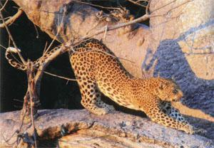 This leopard was seen on a game drive from Pafuri Camp, where we indulged ourselves following the trail.
