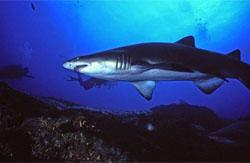 Diving with the sharks at Aliwal Shoal, KwaZulu-Natal