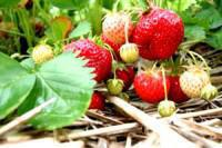 Strawberry Picking, Camperdown, KwaZulu-Natal Midlands