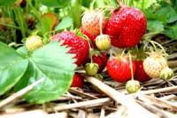 Strawberry Picking, Camperdown, KwaZulu-Natal Midlands