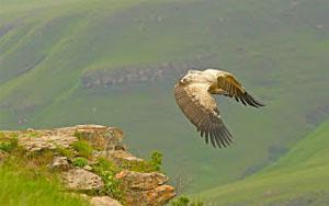Perfectly poised, a Cape vulture soars on outstretched wings that, with a special arrangement of muscles, can hold that position for hours on end.