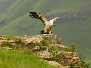 A cliff-nesting Cape vulture launches itself into the air. Once airborne, it will use the updraughts created over the cliffs to gain altitude before moving away in search of food.