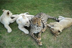 Cheetah and Lion Cubs at the Cheetah Experience in Bloemfontein, South Africa