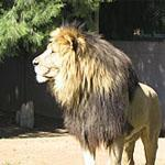 Lion at the Bloemfontein Zoo, South Africa