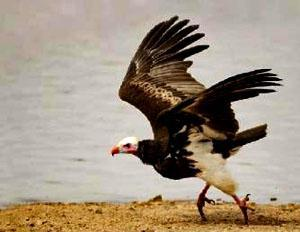 Without the aid of a cliff-generated updraught, tree-nesting vultures like the white-headed have to flap their way into the air before finding a thermal to ride.