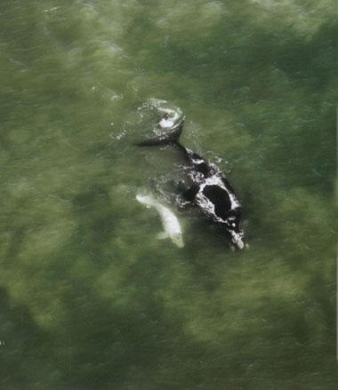 About four per cent of southern right whale calves are born white, then slowly darken to a grey or brindle as they age.