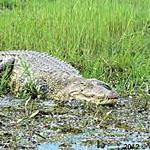 Crocodile - Limpopo River