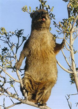 Reminiscent of the posture of an opera singer (tree excluded!), male hyraxes produce complex songs. When danger threatens, both male and female hyraxes sound the alarm.