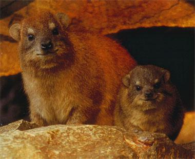 Rock hyraxes are unusual in many ways. They belong to the Afrotheria, an eclectic group of mammals that includes the likes of elephant shrews, dugongs, aardvarks, golden moles and elephants. And recently it's been discovered that they're one of only a handful of mammals that sing.