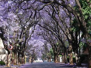 Jacaranda Trees in Rosebank Johannesburg
