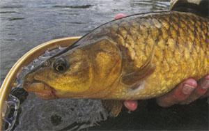 A close-up of the 22 inch Sterkspruit yellowfish.