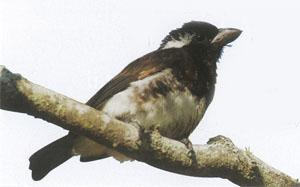 The White-eared Barbet is usually found in small family groups.