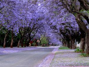 Jacarandas Pretoria
