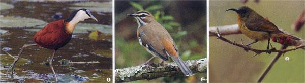 1. The African Jacana. 2. Bearded Scrub-Robin . 3. Eastern Olive Sunbird