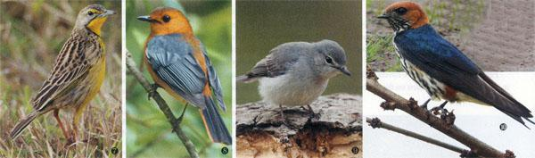 7. Yellow-throated Longclaw. 8. Red-capped Robin-Chat. 9. Ashy Flycatcher. 10. Lesser-striped Swallow.