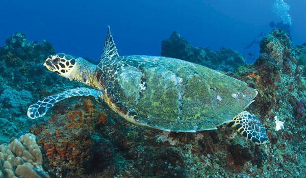 A hawksbill turtle in the waters at Rocktail Bay. These turtles are critically endangered and often hunted for their beautiful shell.