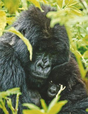 A mountain gorilla mother and her three-month-old baby. Female gorillas have only between two and six babies in their lifetime, and will fight to the death to protect their young.
