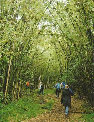 Volcanoes National Park, covered in hagenia and bamboo forests, is most famous for its mountain-gorilla tracking, but it offers other activities such as climbing Karisimbi and Visoke volcanoes and visits to Dian Fossey's tomb.