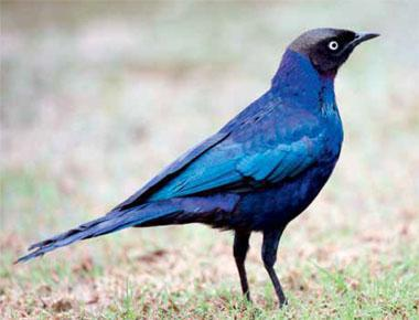 A species endemic to north-eastern Africa, Ruppell's starling is dapper in its glossy blue plumage.