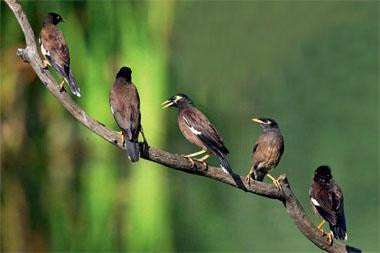 Both sociable and noisy, common mynas have become familiar garden birds in eastern South Africa and are extending their range.