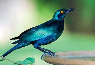 Greater blue-eareds, like many starlings, make good use of garden birdbaths.