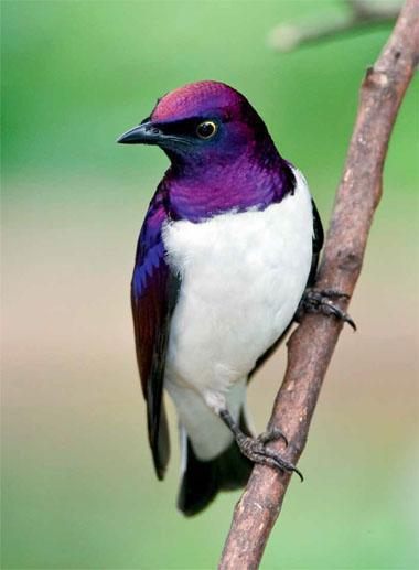 His shining purple sheen combined with white makes the male violet-backed starling a stunning visitor to gardens on the margins of suburbia.