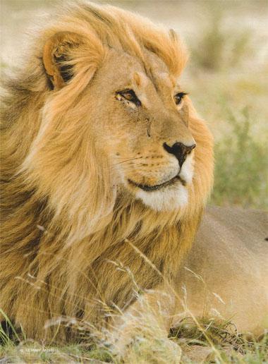Kgalagadi - Lion