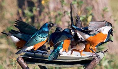 Like many of their kin, superb starlings are gregarious by nature.