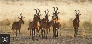 Listen out for the warning calls of red hartebeest, wildebeest and especially springbok. When a herd spots a predator, individuals usually group together tightly, all facing the same direction (towards the culprit), and make it known that they have spotted the enemy by giving loud snorts.