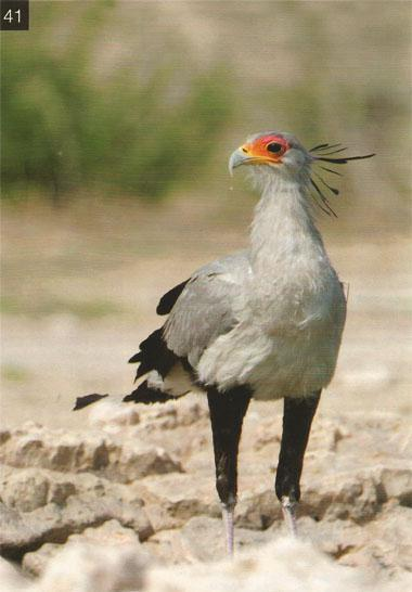 Most waterholes attract sandgrouse, doves and a variety of finches, canaries and sparrows early in the morning. However, raptors such as bateleurs, secretary birds and tawny eagles prefer to drink in the middle of the day.