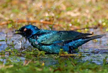 Sunlight enhances the iridescence of a Cape glossy starling's blue- green plumage.