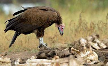 A lappet-faced vulture sits atop a mass of elephant bones. The birds play an Important role In recycling nutrients through the ecosystem. With vultures present, carcasses can disappear three times faster than when they are scavenged by mammals.