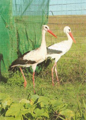A pair of White Storks at FreeMe, on the road to recovery. They were brought in after being seriously injured in a fierce storm.