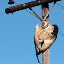 A seemingly innocuous powerline can prove a death trap to vultures such as this Cape vulture.