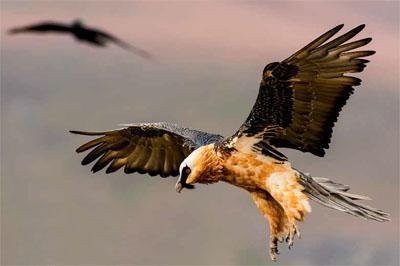 Already in trouble In southern Africa - they were declared Critically Endangered there this year - bearded vultures are further threatened by proposed wind farms, whose turbines pose a significant risk of collision.