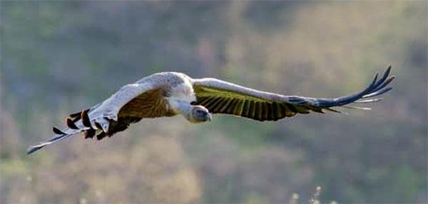 Although wind-energy developments In the Malotl-Drakensberg regions are likely to affect bearded vultures the most, they also pose a hazard to the Cape vulture population.