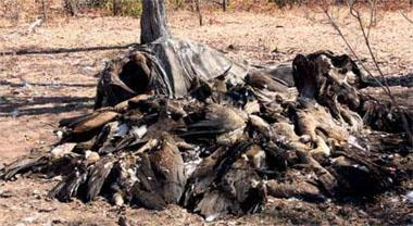 Double whammy.These vultures Gonarezhou National Park, Zimbabwe, all died as a result of feeding on the remains of an elephant, which itself had been a victim of poisoning. The poachers made off with its tusks for the ivory trade and took vulture parts for the muti trade.