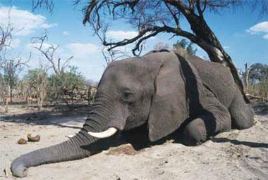Elephants are being brought to their knees, a consequence of the poaching crisis across Africa.