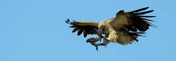 Flying to its death? A white-backed vulture descends rapidly onto a carcass. While vulture restaurants are a good idea in theory, they also expose the birds to exploitation through deliberate poisoning.