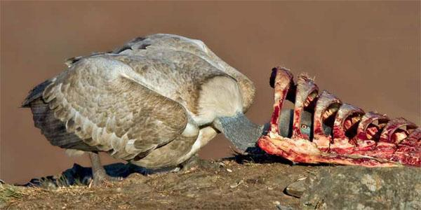 In many rural areas supplementary feeding sites, or 'vulture restaurants' help birds like this Cape vulture to survive.