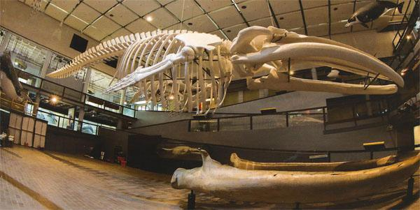 One of the special places in the museum is the Whale Well, complete with the humbling, 20,5-metre-long skeleton of a blue whale.