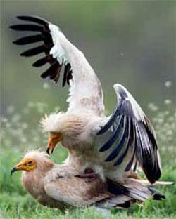 The Egyptian vulture is no longer thought to breed in southern Africa.