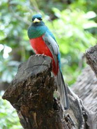 The narina trogon is a top tick for birders.
